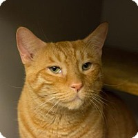 Domestic Shorthair Cat for adoption in New York, New York - Marius