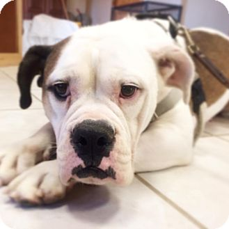 English Bulldog Dog for adoption in Mechanicsburg, Ohio - Lulu