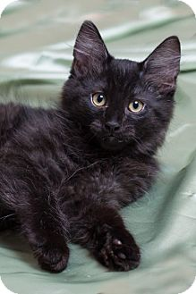 Domestic Shorthair Kitten for adoption in Lombard, Illinois - Macchiato