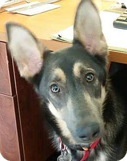 German Shepherd Dog Dog for adoption in Kansas City, Missouri - Pippa