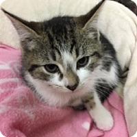Adopt A Pet :: Violet - Medina, OH
