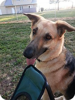 German Shepherd Dog/Collie Mix Dog for adoption in Fort Riley, Kansas - Taya