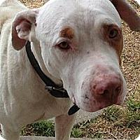 Adopt A Pet :: Courtesy Listing: Spot - San Diego, CA