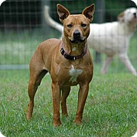 American Staffordshire Terrier/Pharaoh Hound Mix Dog for adoption in Lawrenceville, Georgia - Cloe