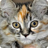 Adopt A Pet :: PUFFS (spayed long haired) - New Smyrna Beach, FL