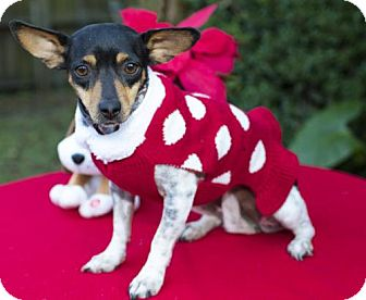 Rat Terrier/Jack Russell Terrier Mix Dog for adoption in Alvin, Texas - Sandy -Cutey---S---Video