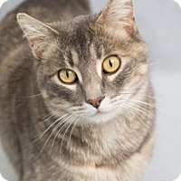 Adopt A Pet :: Tinsel - Fort Collins, CO