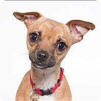 Adopt A Pet :: Indie - San Luis Obispo, CA