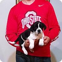 Adopt A Pet :: Gunner - South Euclid, OH