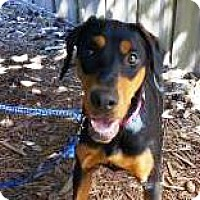 Doberman Pinscher Mix Dog for adoption in Bellevue, Washington - Khaleesi
