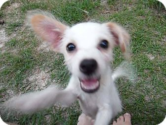 Yorkie, Yorkshire Terrier/Terrier (Unknown Type, Small) Mix Puppy for adoption in Houston, Texas - Pete