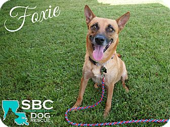 Belgian Malinois/German Shepherd Dog Mix Dog for adoption in Shreveport, Louisiana - Foxie
