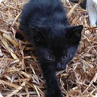 Adopt A Pet :: Onyx - Kennesaw, GA