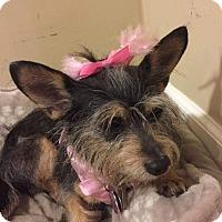 Adopt A Pet :: Chanel - Ft. Lauderdale, FL