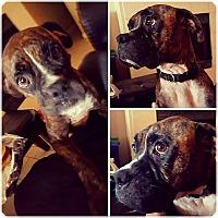 Boxer Dog for adoption in Austin, Texas - Alexis