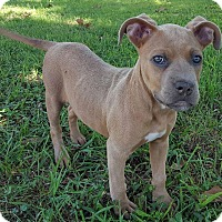 Adopt A Pet :: Ciara - Allentown, PA