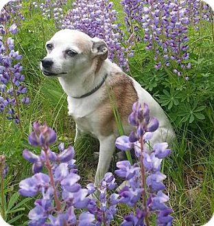 Rat Terrier Mix Dog for adoption in Princeton, Minnesota - Boris