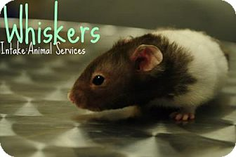 Hamster for adoption in Hamilton, Ontario - Whiskers