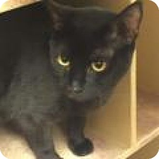 Domestic Shorthair Cat for adoption in Stafford, Virginia - Midnight