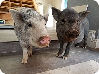Pig (Potbellied) for adoption in Las Vegas, Nevada - Penelope & Pearl