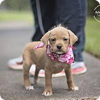 Adopt A Pet :: ARELI - WATCH MY VIDEO - Seattle, WA