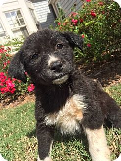 Siberian Husky/Labrador Retriever Mix Puppy for adoption in Roswell, Georgia - Maseratti