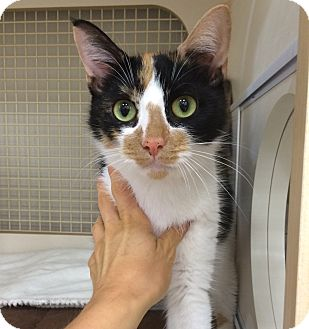 Calico Cat for adoption in Plainville, Connecticut - Noel