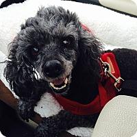 Adopt A Pet :: Nahla:Gentle Girl! (NJ) - Wilmington, MA