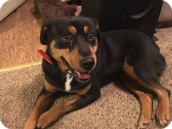 Rottweiler Mix Dog for adoption in Laingsburg, Michigan - Roxanne