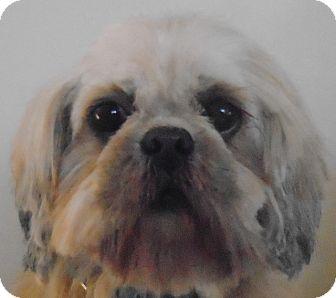 Shih Tzu Dog for adoption in St Louis, Missouri - Cream Puff