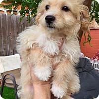 Adopt A Pet :: Venus Puppy - Encino, CA