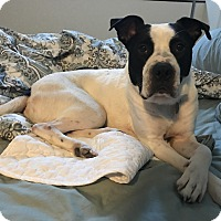 American Bulldog Mix Dog for adoption in Fairfax, Virginia - THOREAU