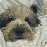 Adopt A Pet :: Bear ADOPTED, - Brattleboro, VT