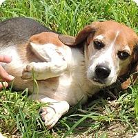 Beagle Mix Dog for adoption in Joplin, Missouri - Sonny