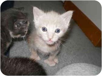 Domestic Shorthair Kitten for adoption in Morris, Pennsylvania - Tanner
