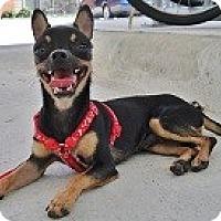 Adopt A Pet :: MILES - AUSTIN, TX