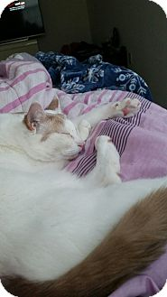 American Shorthair Cat for adoption in farmingville, New York - William