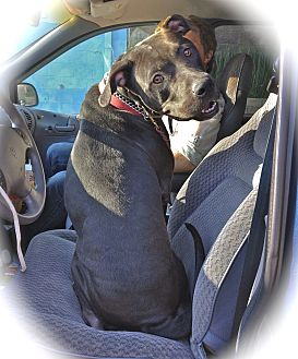 American Staffordshire Terrier/Pit Bull Terrier Mix Dog for adoption in Burbank, California - Good-looking Dirky-VIDEO