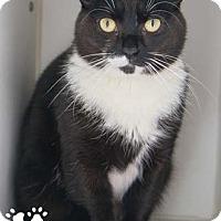 Adopt A Pet :: Pantera - Merrifield, VA