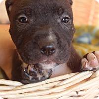 Adopt A Pet :: Calle - Waldorf, MD