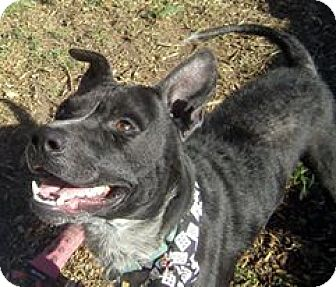 Australian Cattle Dog Mix Dog for adoption in Crescent City, California - Dodge