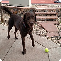 Labrador Retriever Mix Dog for adoption in Evergreen, Colorado - Odell