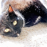 Domestic Shorthair Cat for adoption in Virginia Beach, Virginia - Casey