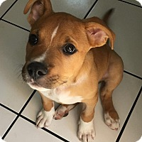 Adopt A Pet :: Ollie - North Olmsted, OH