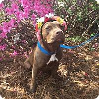 Adopt A Pet :: Nichole (Figgy) - Summerville, SC