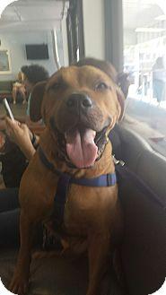 Boxer/Mastiff Mix Dog for adoption in Tampa, Florida - Cubber