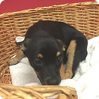 Adopt A Pet :: Rose - Decatur, AL