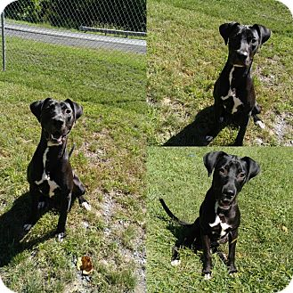 Labrador Retriever Mix Dog for adoption in Triadelphia, West Virginia - 1-5 Simba