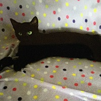 Domestic Shorthair Cat for adoption in Burnham, Pennsylvania - Isach