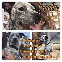 Adopt A Pet :: Cruella - Colmar, PA
